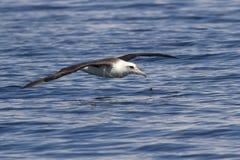 Laysanalbatros die over de wateren vliegt Royalty-vrije Stock Foto