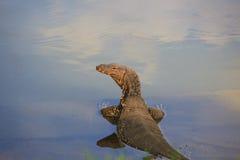 Lazard in het water Royalty-vrije Stock Foto