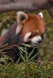 lazer panda Zdjęcie Royalty Free