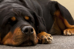 Laziness. Lazy rottweiler pet dog liyng on the ground Royalty Free Stock Photo