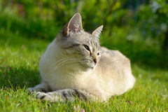 Laziness. Blue eyed domestic cat lying on the grass. Very shallow depth of field Royalty Free Stock Images