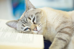 Laziness. Blue eyed domestic cat lying on open book. Very shallow depth of field royalty free stock image