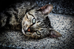 Laziness. Lazy cat gazing vacantly stretched on stairs Royalty Free Stock Images