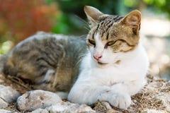 Lazing猫 免版税库存图片