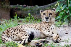 Lazing cheetah Stock Images