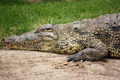Lazing Crocodile. Crocoldile lazing on a rock in the sun Royalty Free Stock Photo