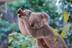 Lazing Koala Stock Images