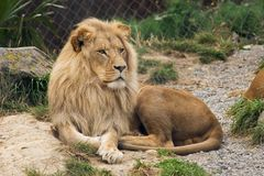 Lazing Lion Royalty Free Stock Image
