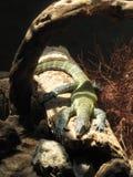 Lazing Lizard Royalty Free Stock Image
