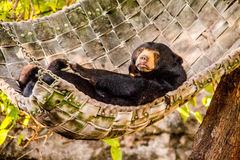 Lazing Sun Bear Royalty Free Stock Image