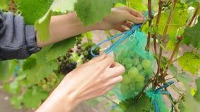 Lazo femenino de la mano una cinta en un bolso protector para las uvas Mujer joven que escoge el manojo de uvas jugosas en el viñ metrajes