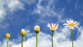 Lazo inconsútil - etapas del crecimiento de un cielo azul móvil de la margarita, vídeo de HD almacen de video