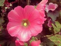 Ślazu kwiat Fotografia Stock
