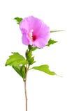 Ślazu kwiat odizolowywający na bielu Obraz Royalty Free