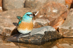 Lazuli Bunting Royalty Free Stock Photography
