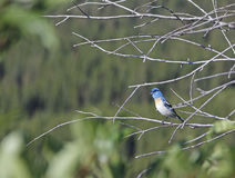 Lazuli bunting bluebird on branch Stock Image