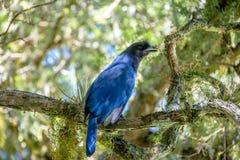 Lazurowy Jay lub Gralha Azul ptak w Itaimbezinho jarze przy Aparados da Serra parkiem narodowym - Cambara robi Sul, rio grande ro Fotografia Stock