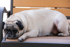 Lazy Adult Fawn Pug Stock Photography