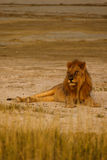 Lazy adult male lion gazes at tourists on safari in Namibia Stock Image