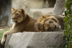 Lazy African Lions Stock Image