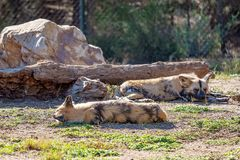 Lazy African Wild Dogs. African wild dogs being lazy lying around in the sunshine royalty free stock photos