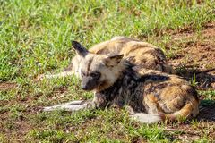 Lazy African Wild Dogs. African wild dogs lying around resting in the sunshine stock photography