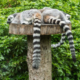 Lazy Afternoon. A group of ring tailed lemurs take a nap royalty free stock photography
