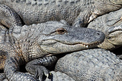 Lazy alligators Royalty Free Stock Photos