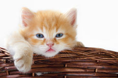 Lazy baby cat. A beautiful baby cat, asleep in a basket of twigs Royalty Free Stock Images