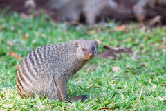 Lazy banded mongoose Stock Image