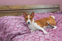 Lazy basenji dog on its own bed Royalty Free Stock Photography