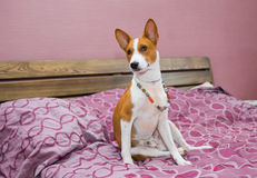 Lazy basenji dog. Royalty Free Stock Photography