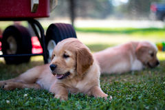 Lazy basking in the sun. Golden retriever puppy basking in the sun Royalty Free Stock Photos