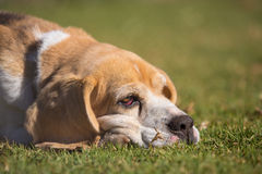 Lazy beagle Stock Photography