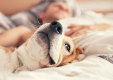 Lazy beagle lying in bed with his sleeping owner Royalty Free Stock Photos