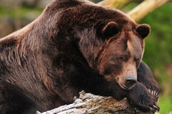 Lazy bear. Alaskan brown bear day dreaming on a snow covered tree trunk Stock Image