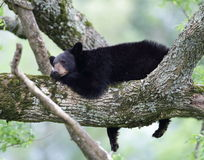 Lazy bear Stock Photos