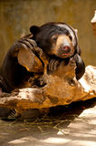 Lazy bear Stock Images