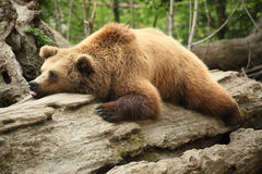 Lazy bear Royalty Free Stock Photography