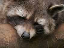Lazy bear Royalty Free Stock Photo