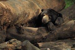 Lazy bear Stock Photos