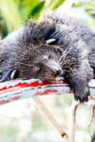 Lazy Bearcat Lying Down On Steel Frame Stock Image