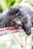 Lazy Bearcat Lying Down On Steel Frame Stock Image