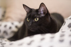 Lazy big black cat laying on bed Stock Image
