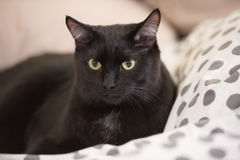Lazy big black cat laying on bed Stock Images