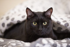 Lazy big black cat laying on bed Royalty Free Stock Images