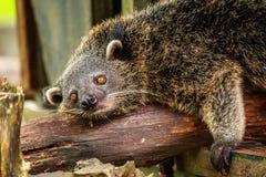 Lazy binturong or philipino bearcat relaxing on the tree, Palawa Royalty Free Stock Photos