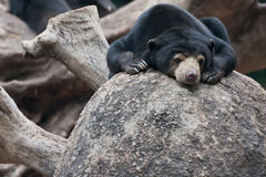 Lazy black bear Royalty Free Stock Photo