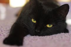 Lazy black cat with green eyes lying on the bed royalty free stock image