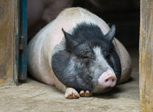 Lazy pig Royalty Free Stock Photos